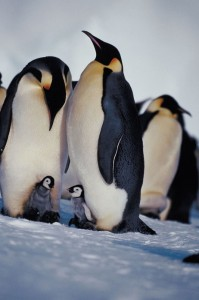 Penguin Mom, Dad, Kids
